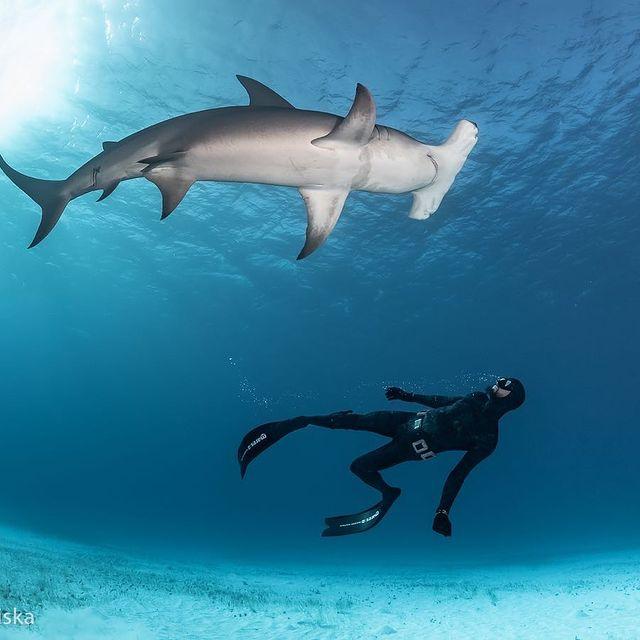 peli pro team robert marc lehman shark